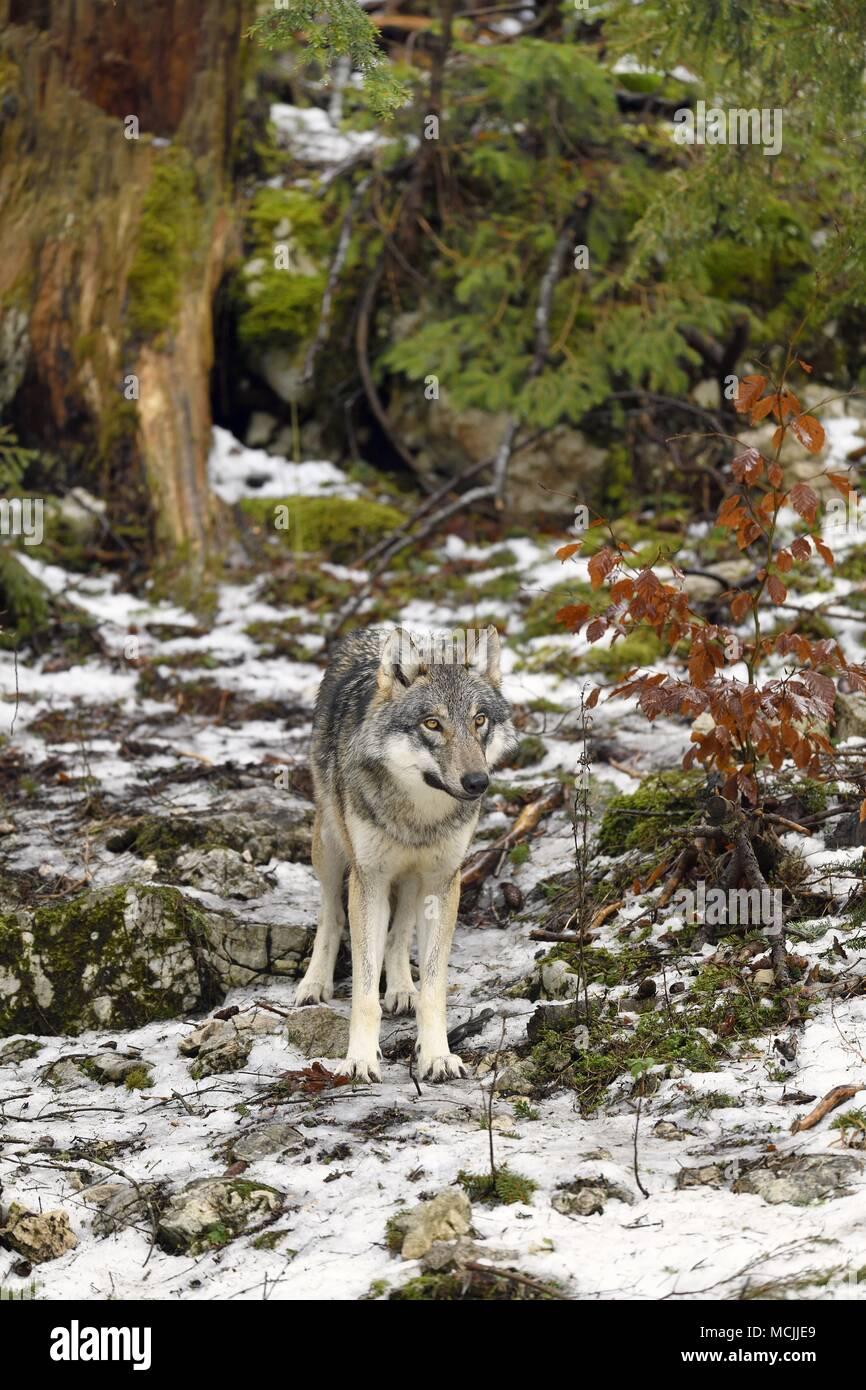 Eurasian Wolf (Canis lupus lupus) standing, captive, Canton of Vaud, Switzerland - Stock Image