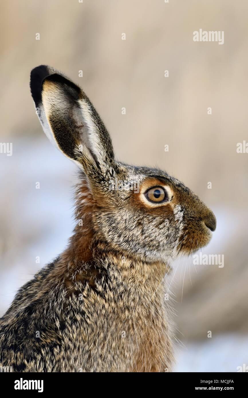 Young European hare (Lepus europaeus), animal portrait, Neusiedler See National Park, Burgenland, Austria - Stock Image