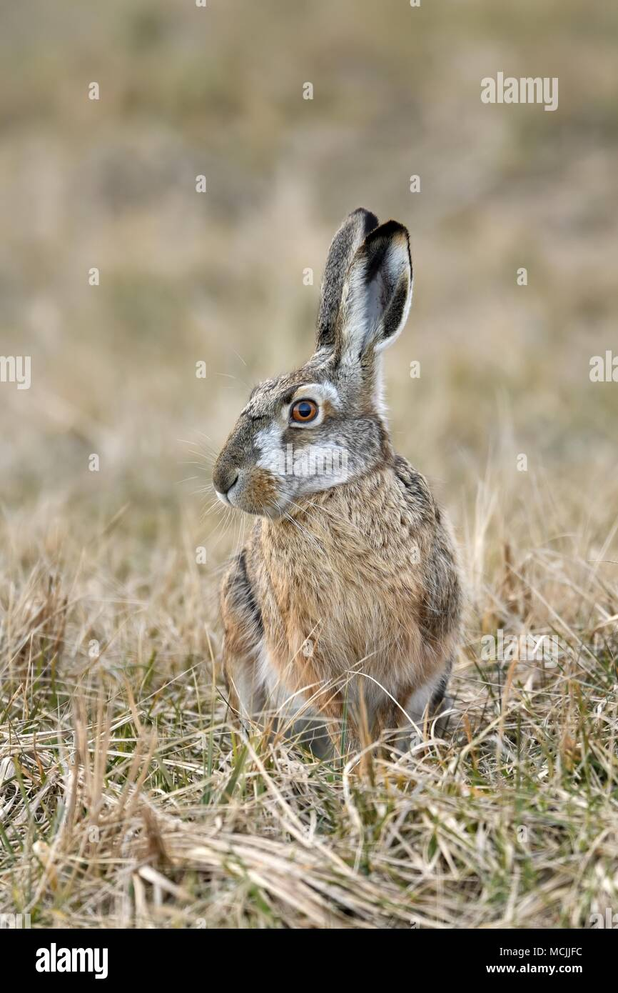 European hare (Lepus europaeus), sits in meadow, Neusiedler See National Park, Burgenland, Austria - Stock Image