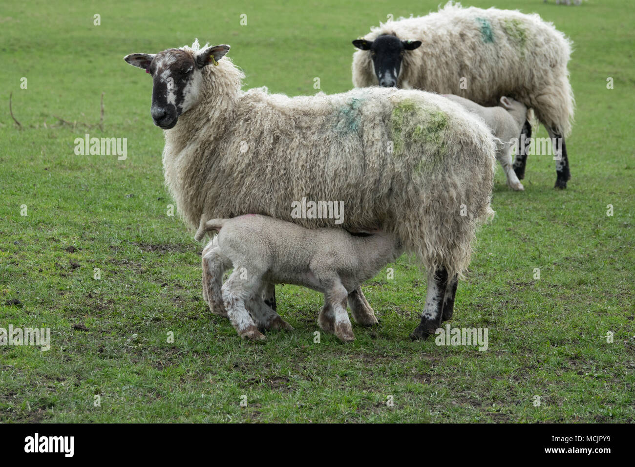 Derby United Kingdom April 2018 Ewe feeding her newborn lamb in a flooded muddy wet field in the Derbyshire countryside on a wet Spring day. - Stock Image