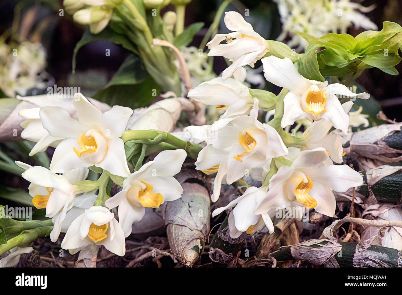 Close up of Chysis bractescens orchid - Stock Image