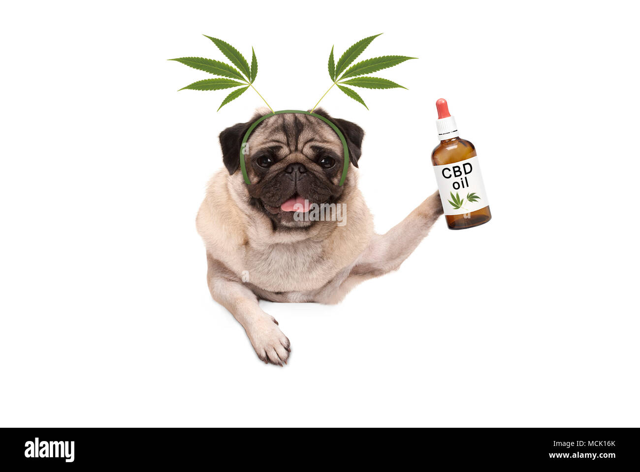 cute smiling pug puppy dog holding up bottle of CBD oil wearing  marijuana hemp leaf diadem, isolated on white background Stock Photo