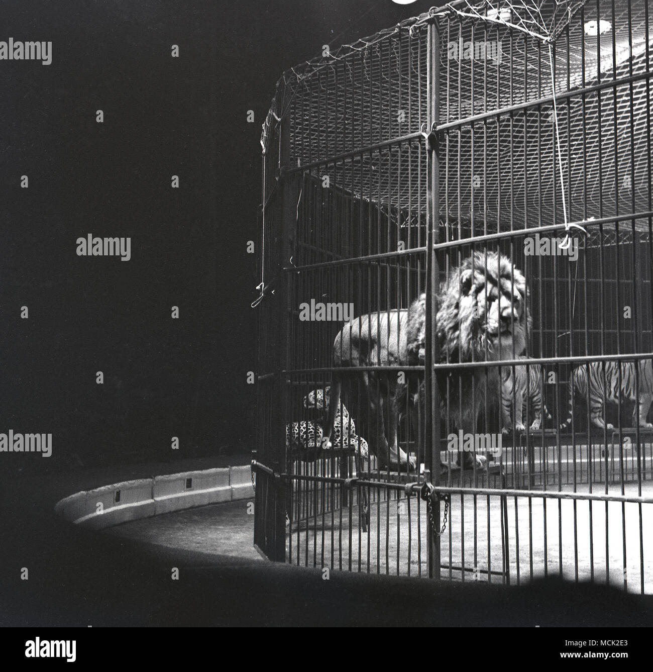 1950s, historical picture of a lion standing on a stool inside the steel cage in the circus ring along with other 'big cats' such as Tigers, at the Belle Vue International Circus, Manchester, England, UK. The circus was a poular attraction there in its day and ran for over 50 years.  Also at Belle Vue was a zoo and amusement park and a stadium which hosted speedway events. - Stock Image
