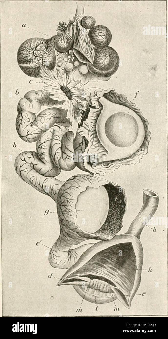 Großartig Uterus Blase Anatomie Galerie - Menschliche Anatomie ...