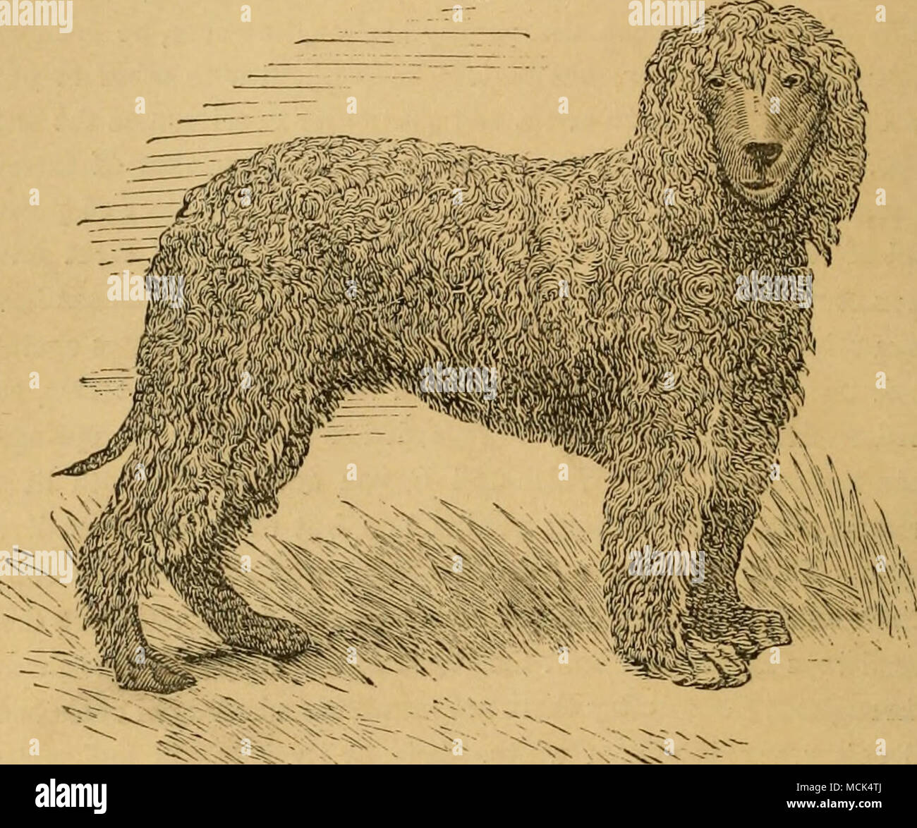 . Fig. 31.—IKISH WATER SPANIEL, KAKE. THE WATER SPANIEL. Wate?- Spaniels are commonly said to have web-feet, and this point is often made a ground of distinction from other dogs, but the fact is that all dogs have their toes united by membranes in the same way, the only distinction between the water and land dogs being that the former have larger feet, and that the membrane between the toes being more lax, they spread more in swimming, and are thus more useful in the water. Most people would un- derstand, from the stress laid on web-feet in the water dogs, that the toes of the land dogs were n - Stock Image