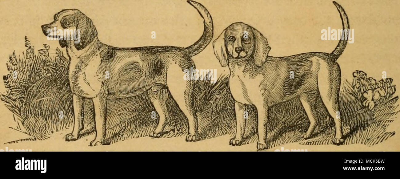 . Fig. 10.—RABBIT BEAGLES, GIANT AND RINGLET. day work up a rabbit and run him in the most extraordinary man- ner, and although the nature of the ground compelled the pack to run almost in Indian file, and thus to carry a very narrow line of scent, if they threw it up, it was but for a moment. Mr. Crane's standard is 9 in., and every little hound is absolutely perfect. We saw but one hound at all differing from his companions, a little black-tanned one. This one on the flags we should have drafted, but when we saw him in his work we quite forgave him for being of a conspicuous color. Giant (se - Stock Image