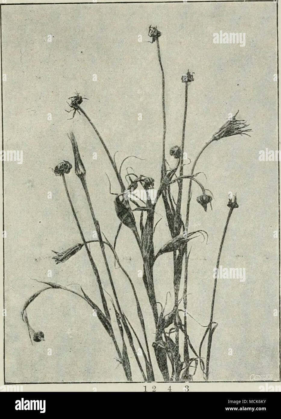 . Fig. 181.—Ustilarjo tragopogonis. Plants of Tragopogon in flower and fruit— 1, normal fruit; 2 and 3, normal flowers; 4, two normal flower-buds. The remaining specimens are attacked by the fungus, and, in consequence, remain in the bud cundition, and filled with black spores which escape by the opening of the involucre, (v. Tubeuf phot.) yeast-like, till, on deficiency of nutrition, fusion and subsequent germination takes place. Ust. intermedia Schroet. {Ust. Jlosculorum D. C.) (Britain). The anthers of Scabiosa Cohnnharia become filled with the dark violet spores of this smut. The spores ge - Stock Image