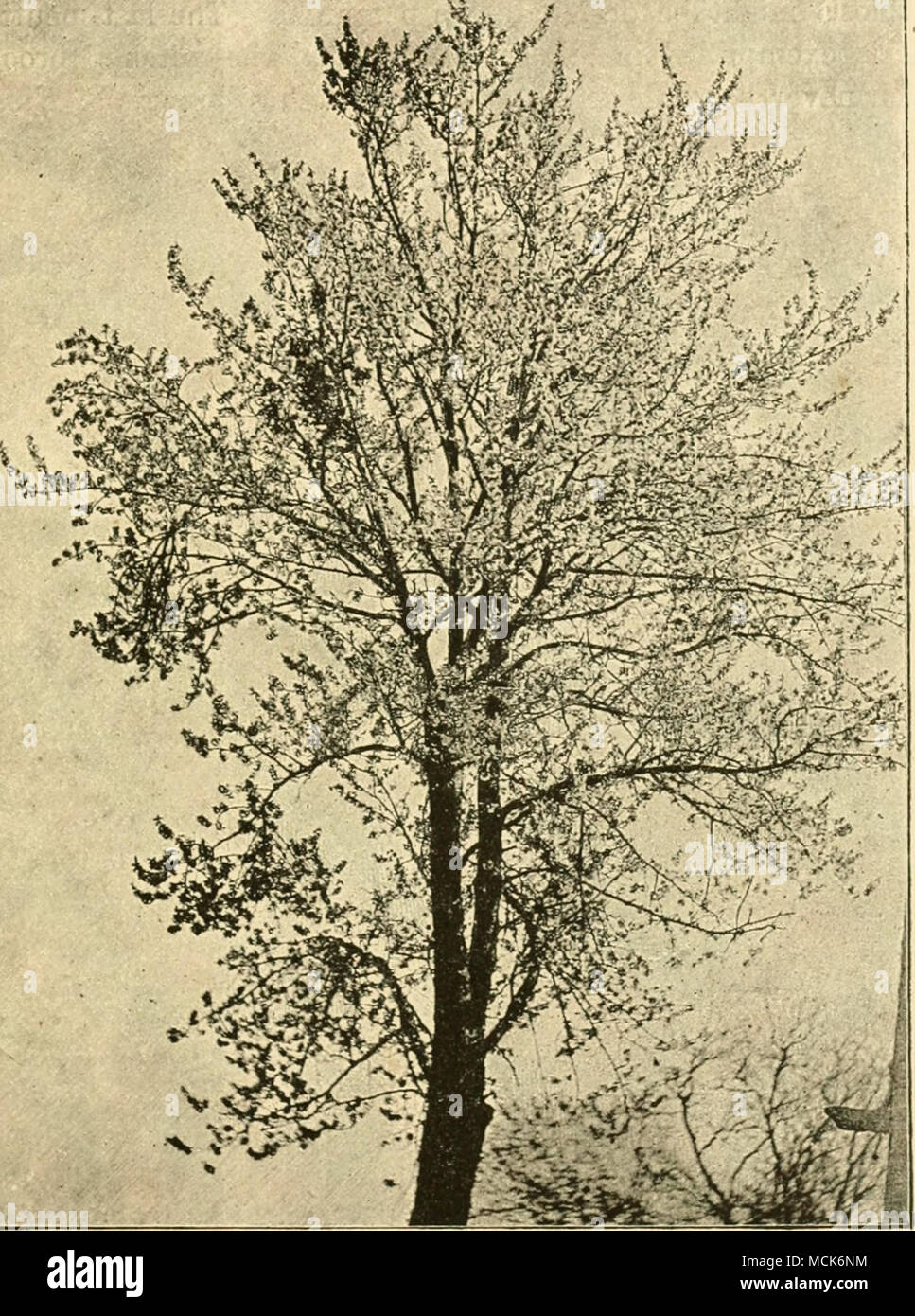 . Fn;. 5.—Clierrv tree in (v. Tubeuf phot.) stalked, green leaves, the stamens were reduced in number and there were no carpels. One case exhibited, in place of a flower, only two leaflets terminating the flower-peduncle, one of them palmately divided. - Stock Image