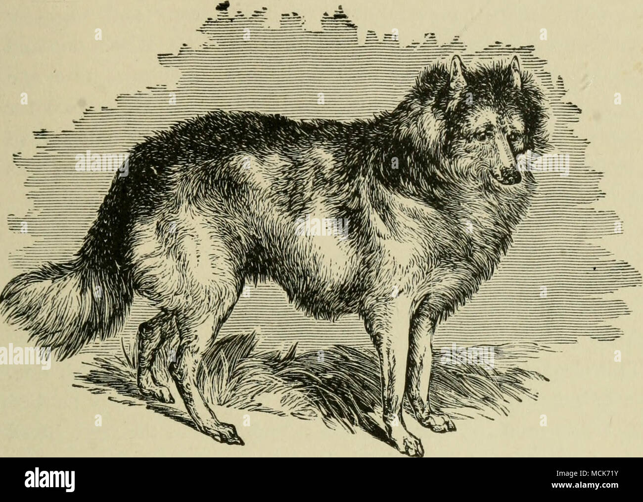 . Fig. 5,—THE HABK-INDIAN DOG. THE HARE-INDIAN DOG. The Hare-Indian dog inhabits the country watered by the Mac- kenzie River and the Great Bear Lake of America, where it is used to hunt the moose and reindeer by sight, aided occasionally by its powers of scent, wnich are by no means contemptible, but kept in abeyance by disuse. The feet are remarkable for spreading on the snow, so as to prevent them from sinking into it, and to enable the dog to bound lightly over a surface which the moose sinks into at every stride. The hight is about 25 inches, combined with great strength. The ears are bro - Stock Image
