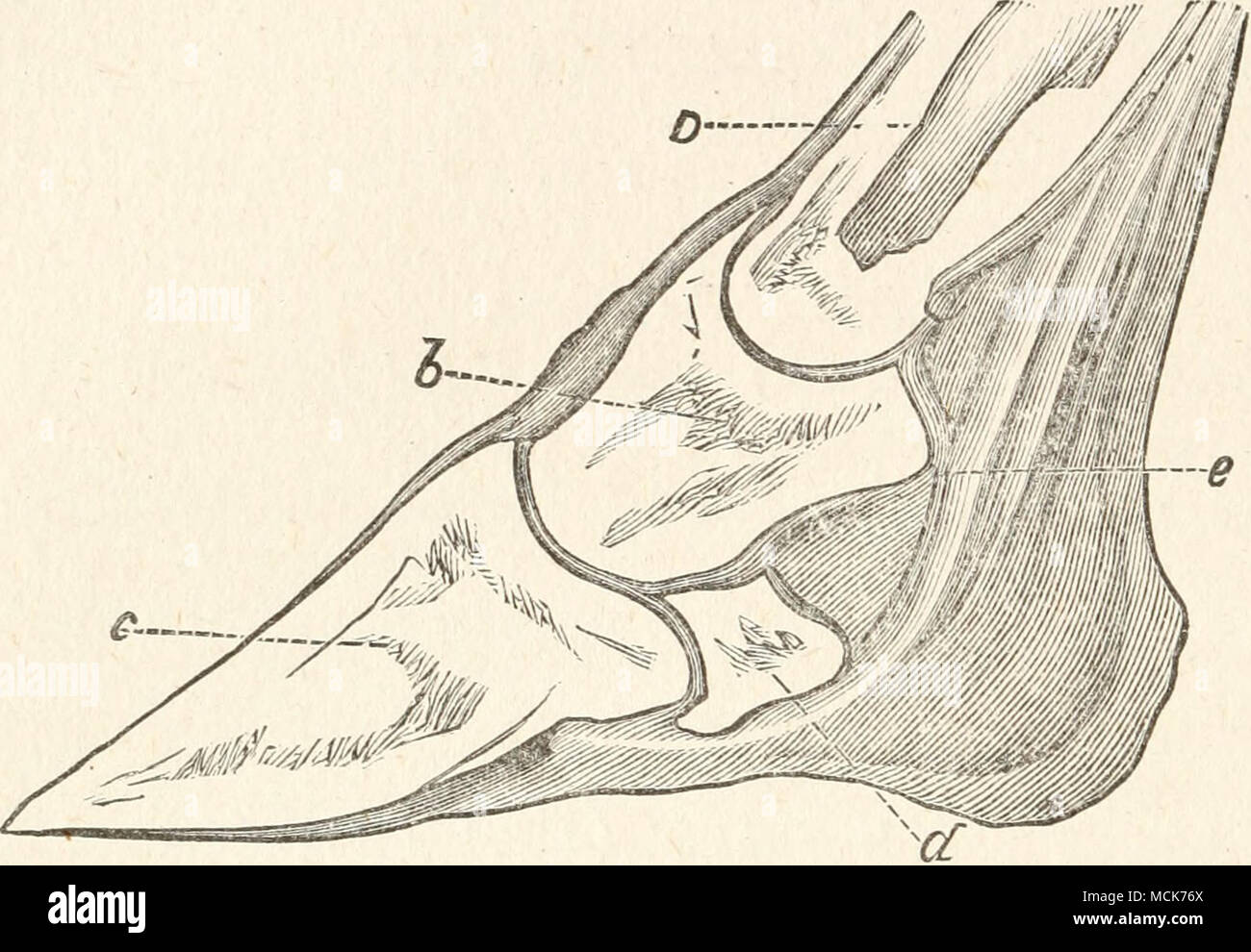 FIG. 21.—A SECTION OF THE HORSE's FOOT. Commencing above, the