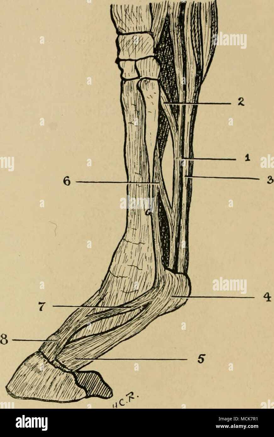Fig. 10.—The Flexor Tendons and Extensor Pedis. (After Haubner.) 1 ...