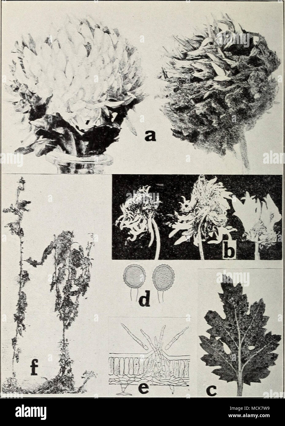. Fig. 50. Chrysanthemum Diseases. a. Botrytis blossom rot. healthy and diseased (after Spaulding-), b. ray blight (after Stevens. F. L.), c. chrysanthemum rust (after Smith. R. E.). d. Ure- dospores of Piicciniu chrysanthcmi. e. Cylindrosporium fungus, /. Cylindro- sporium blight {e and f after Halsted). - Stock Image