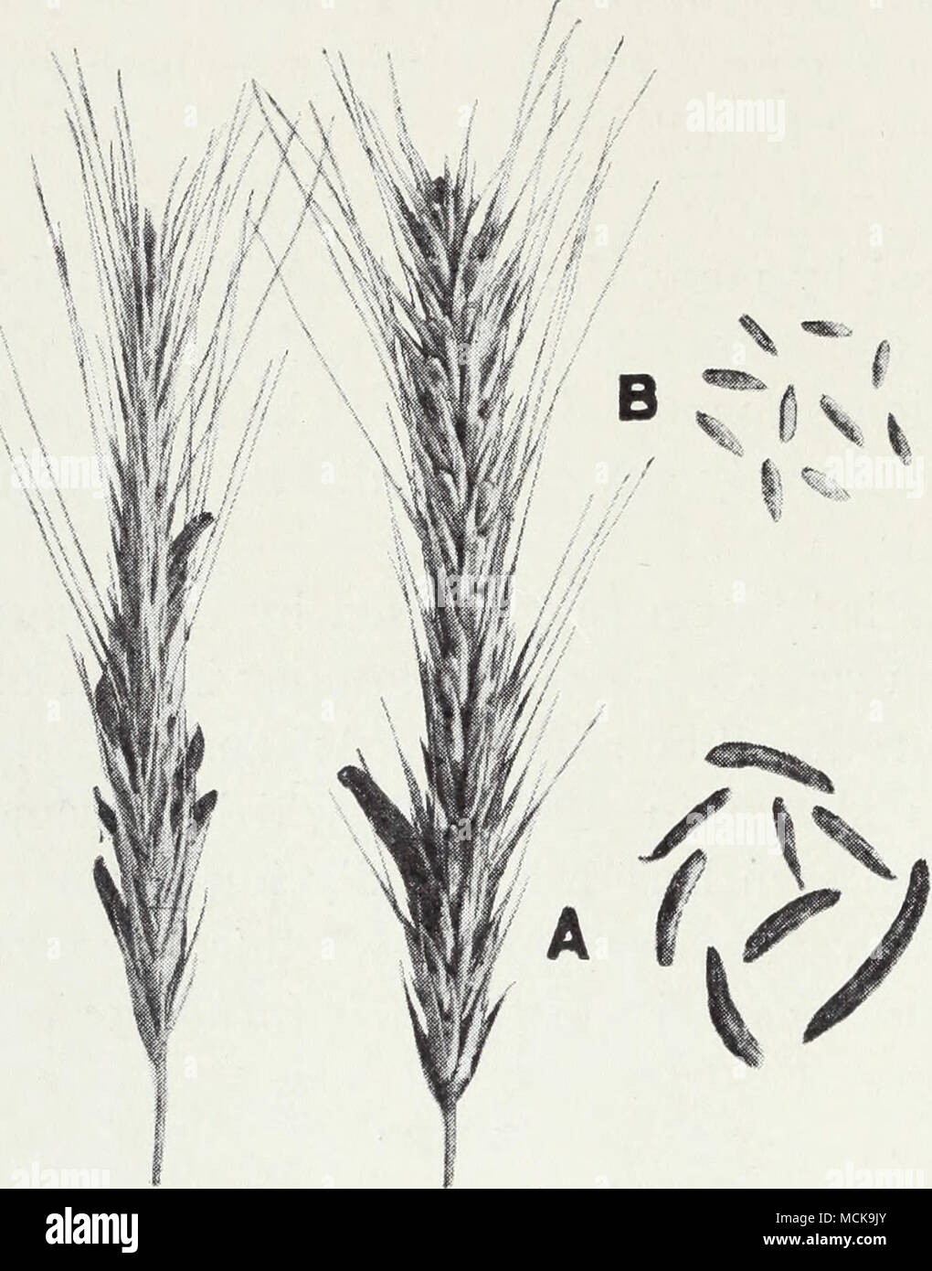. Fig. 33.—Ergot of rye: A, the ergots, or sclerotia, three to four times the size of the rye kernel; B, kernels of rye. (Courtesy of the United States Department of Agricul- ture Cereal Disease Investigations; from Bui. 511.) or lines of smut spores on the stems and leaves. The plants are stunted. Seed treatment with copper carbonate or New Improved Ceresan and crop rotation prevent serious damage from this disease. See page 21. SORGHUM (Broom Corn, Egyptian Corn, Gyp Corn, Kafir Corn, Milo)16 Root Rot.16—Affected plants die from a rotting of the roots. The fun- 15 For further information see - Stock Image