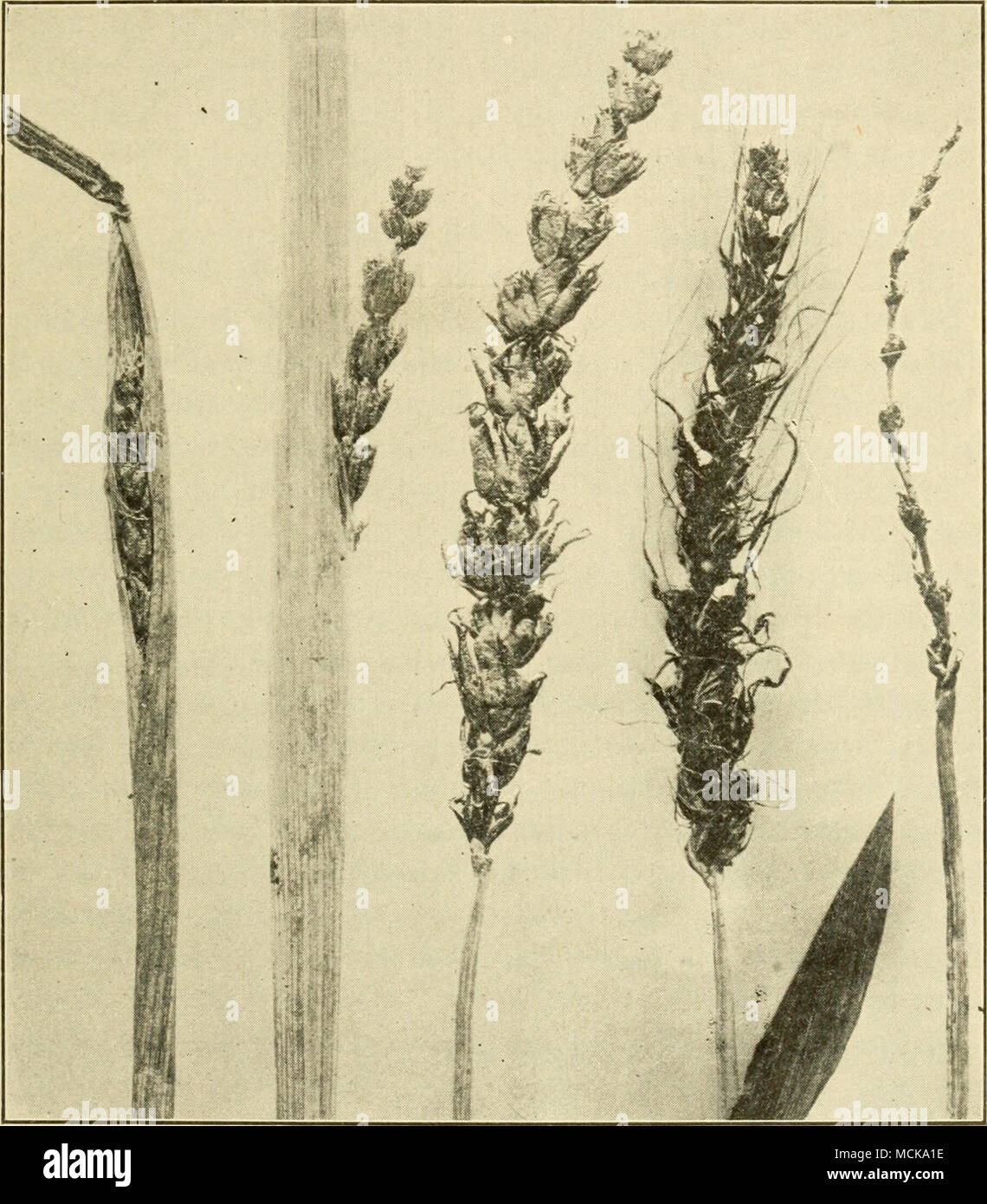 . Fig. 147. — Loose-smut of barley in various stages of development. After Johnson. the plant developing from such an infected seedling the disease does not show externally until the smut ripens at the next blossoming season. The life history of this smut is thus similar to that of - Stock Image