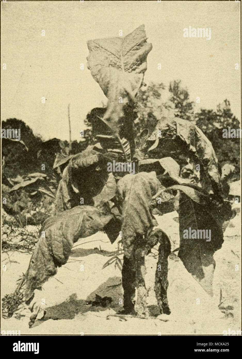 . Fig. 139. — Tobacco plant in early stage of the GranvUle- wUt. Original. The wilt is now known in North Carolina, Florida, Georgia, possibly Connecticut, and what appears to be the same disease has been described in Cuba, Porto Rico, France, the Dutch East Indies, and Japan. - Stock Image