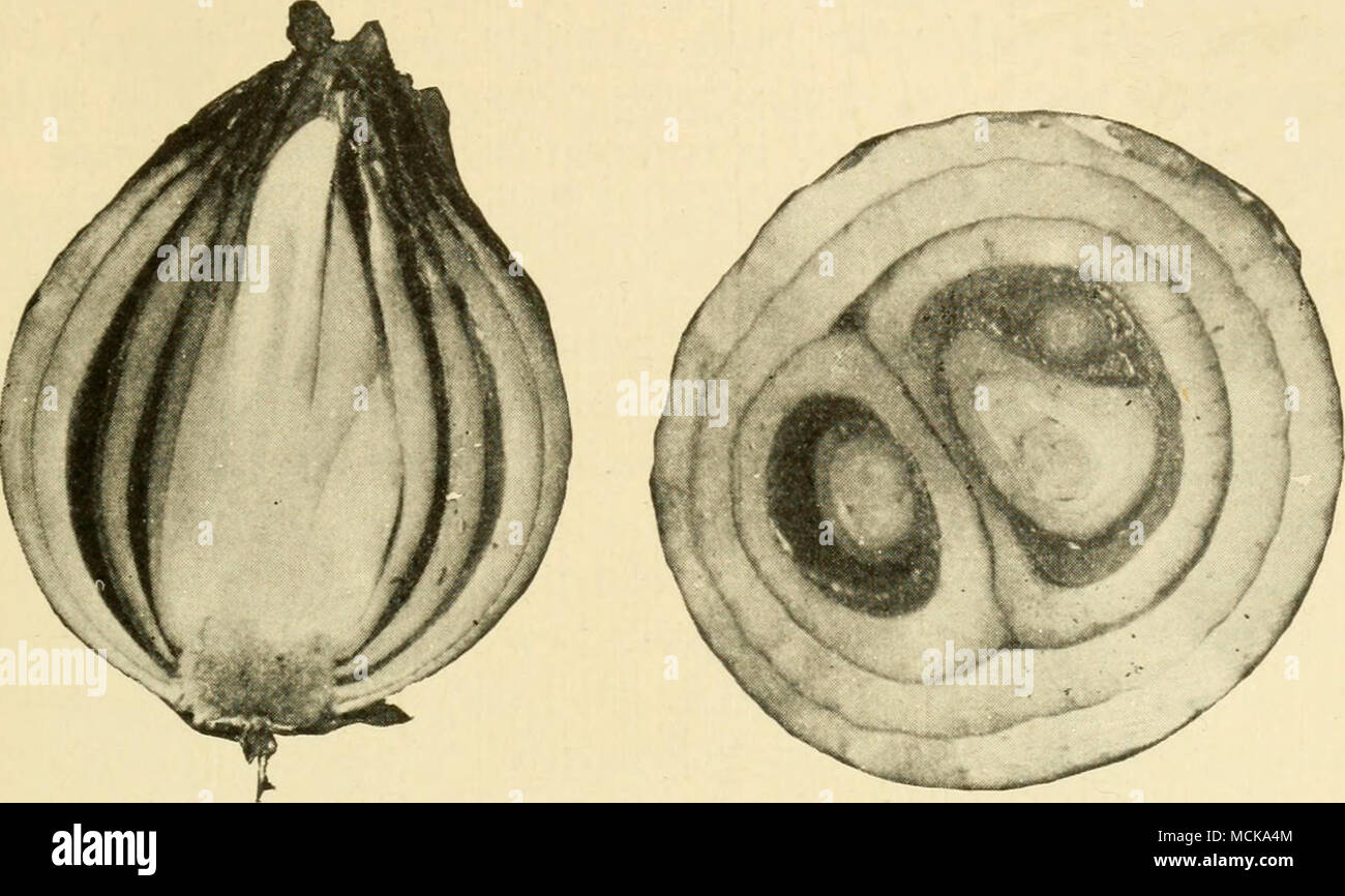 . Fig. 112. — Onions affected with soft-rot; longitudinal and cross sec- tion. After Stewart. - Stock Image