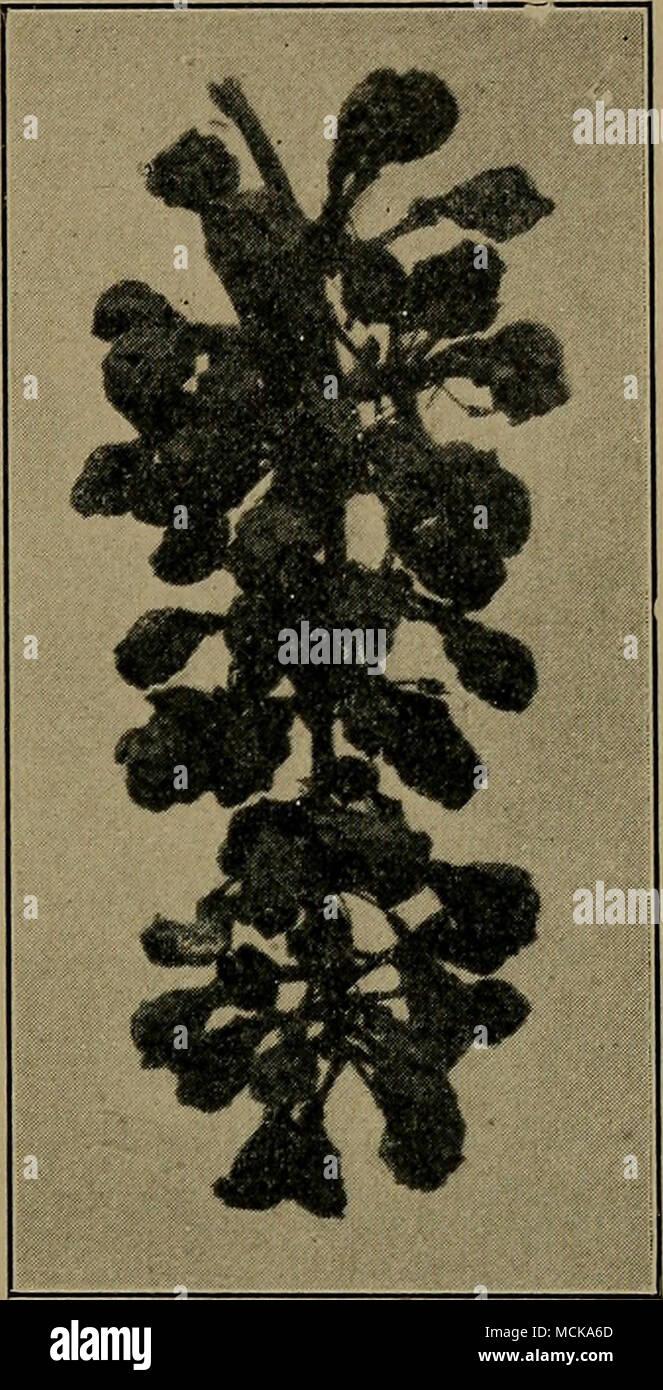 Grape Black Rot. Original. 1 Shear, C .