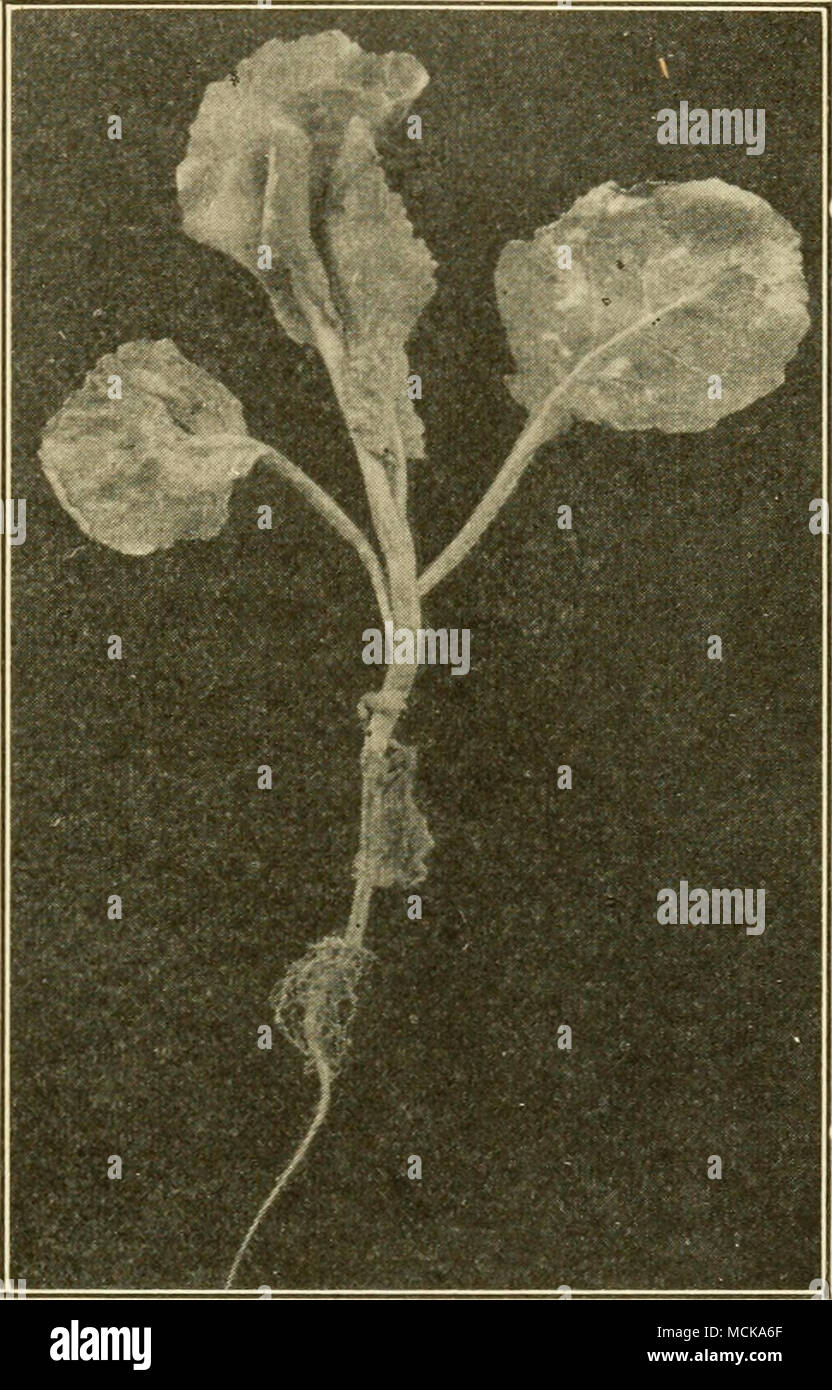 . Fig. 93.- spotted Original. Seedling cabbage plant with downy-mildew. - Stock Image