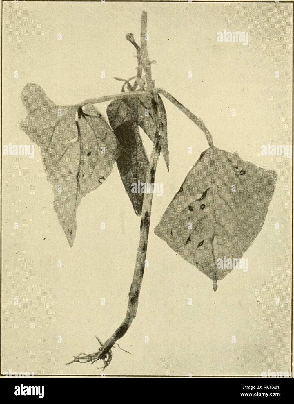 . Fig. 81, — Bean anthracnose upon stem and leaves of young plants. After Whetzel. by beans bearing the spots above mentioned. Such seeds result in infected seedlings which serve as a multiplying medium for the fungus and result in its spread and general attack upon the field. - Stock Image