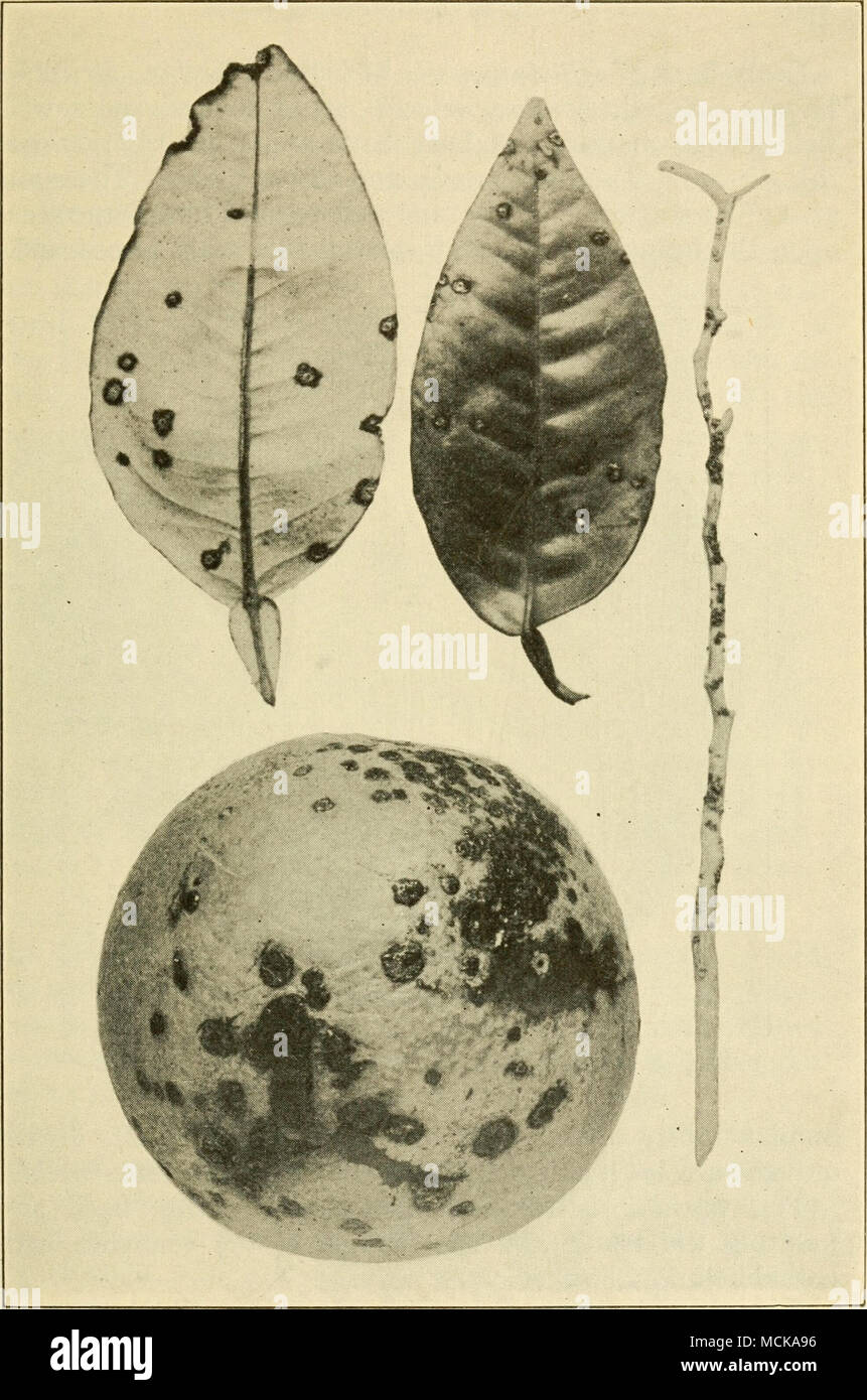 . Fig. 71. — Citrus canker. After Webber. - Stock Image
