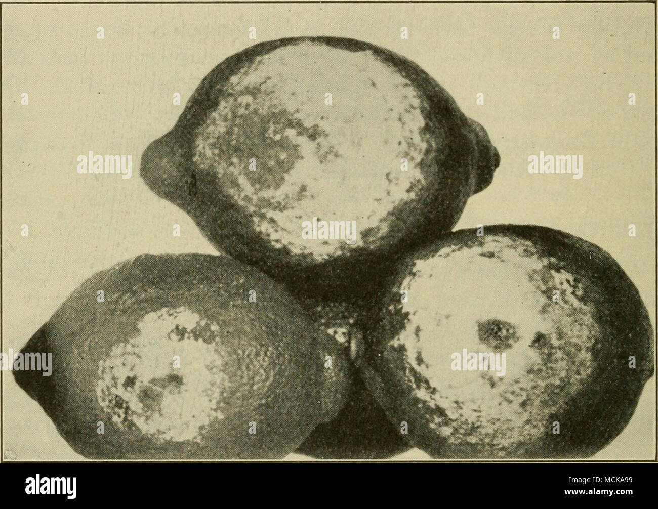 . Fig. 70. — Brown-rot of lemons, showing white growth of the fungus. After R. E. Smith. of small flies in boxes where there is diseased fruit. One affected fruit in a box communicates disease to the whole. Brown-rot is found in nearly pure condition on the fruit in the orchard, especially on fallen fruit or on fruit hanging low on the tree. It is most prevalent in wet weather or on low ground after irrigation. The fungus is visible to the eye in the packing-house, as a mass of white filaments. It is spread by contact alone. Orchard infection can be controlled by the use of a heavy mulch under - Stock Image