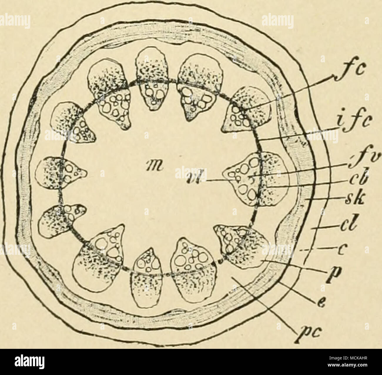 Fig 206 Diagram Of Cross Section Of Stem Showing Circle Of Veins