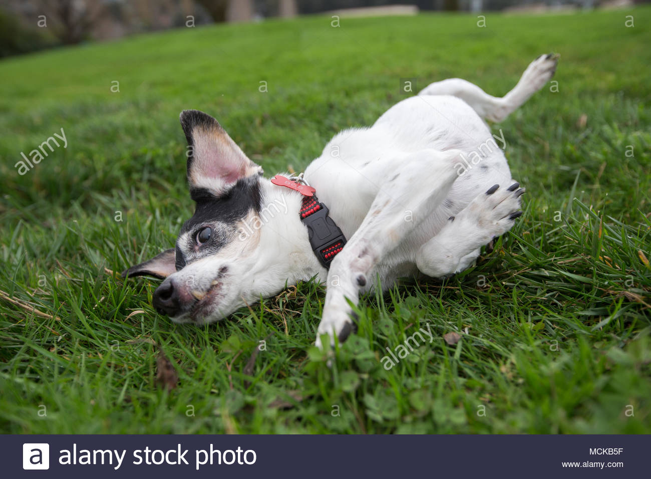 Senior terrier dog rolling around in grass with paws in the air - Stock Image