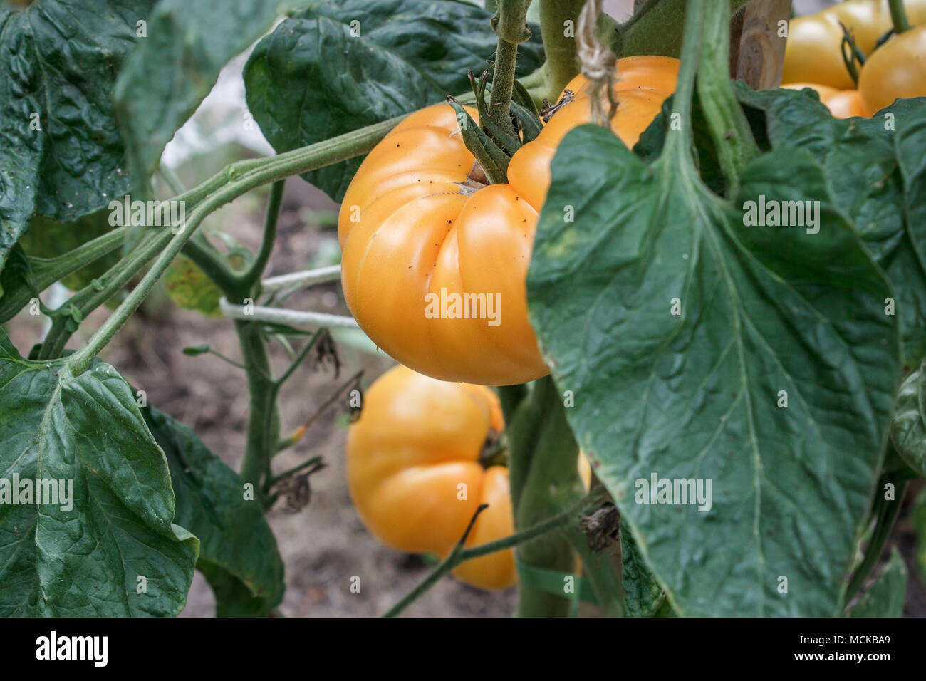 A cluster of ripe Yellow Brandywine tomatoes hang from a plant in a backyard food garden in early September. - Stock Image