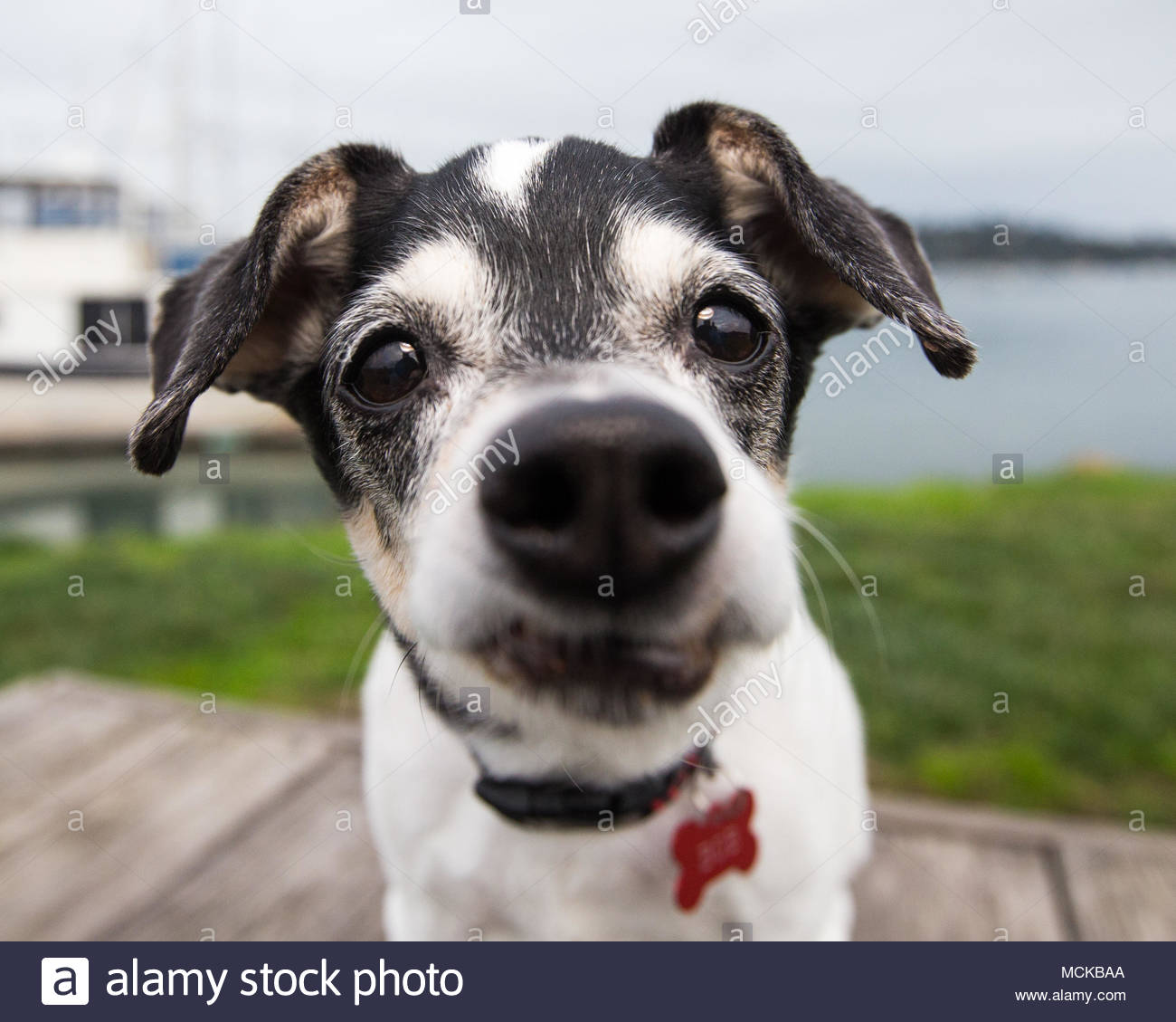 Very close up view of black and white senior terrier mix dog with nose in the camera - Stock Image