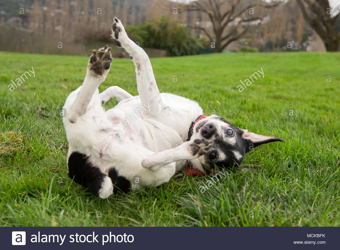 Senior terrier dog rolling on back with paws in the air looking toward camera - Stock Image