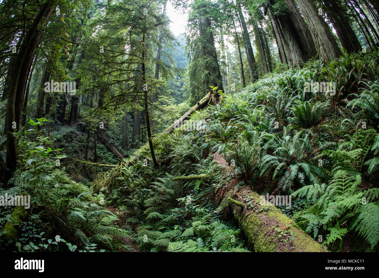 Beautiful Northern California Drop Top: Luxuriant Plant Growth Occurs In Redwood National Park In