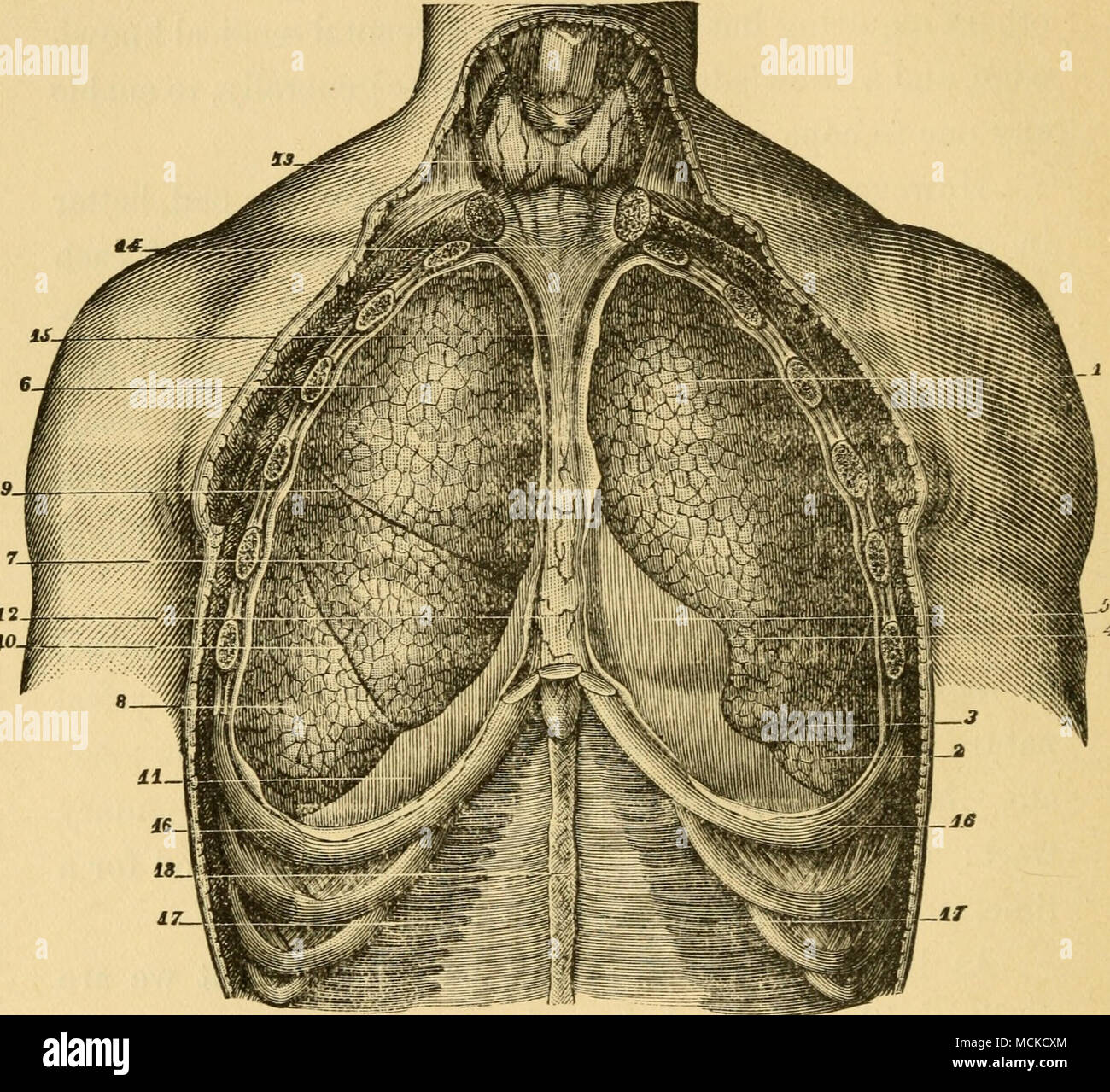 Fig 12lungs anterior view sappey 1 upper lobe of left lung 1 upper lobe of left lung 2 lower lobe 3 fissure 4 notch corresponding to apex of heart 5 pericardium 6 upper lobe of right ccuart Images