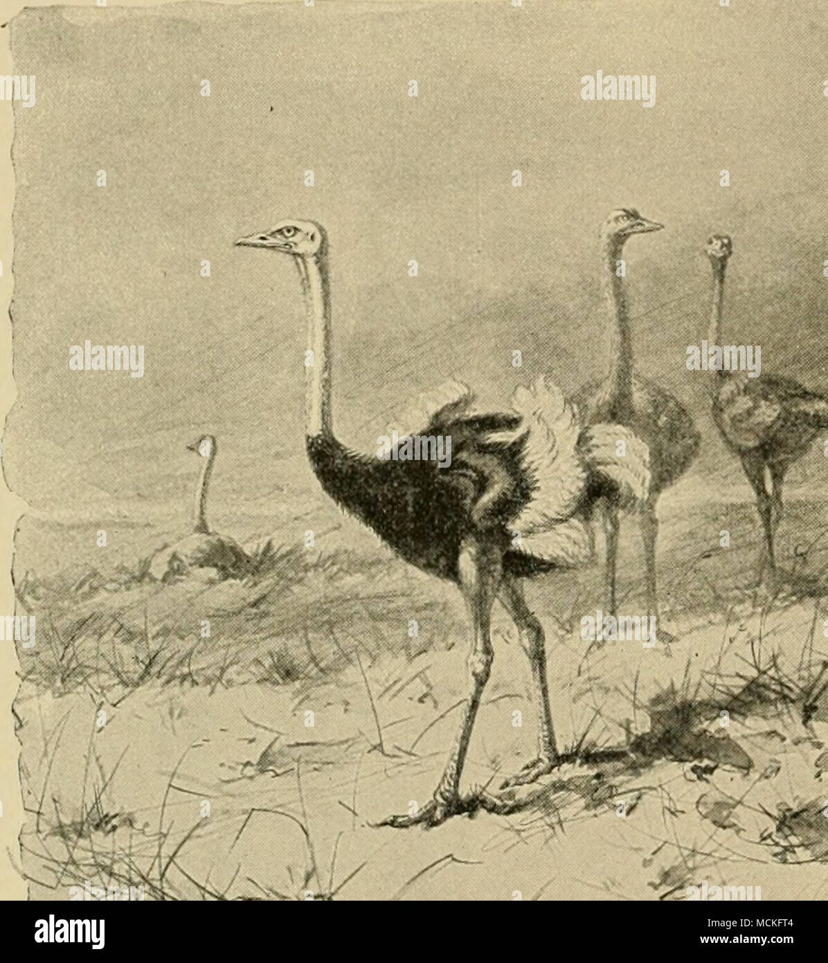 """. """"^^ The Largest of all Poultry —The Ostrich - Stock Image"""