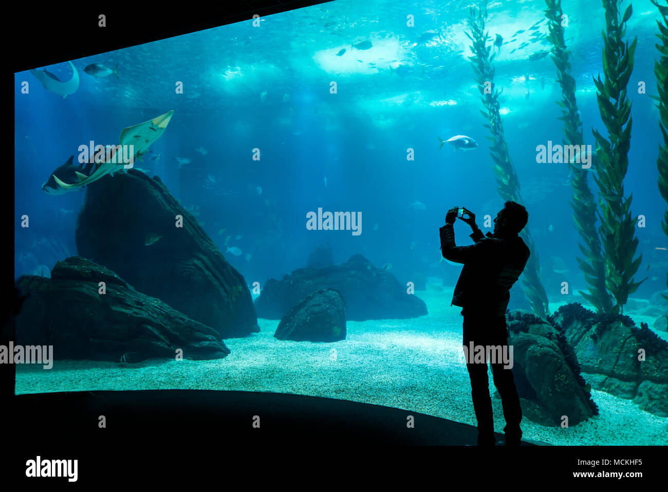 a woman while she photographs a shark in the aquarium of Lisbon, Portugal - Stock Image