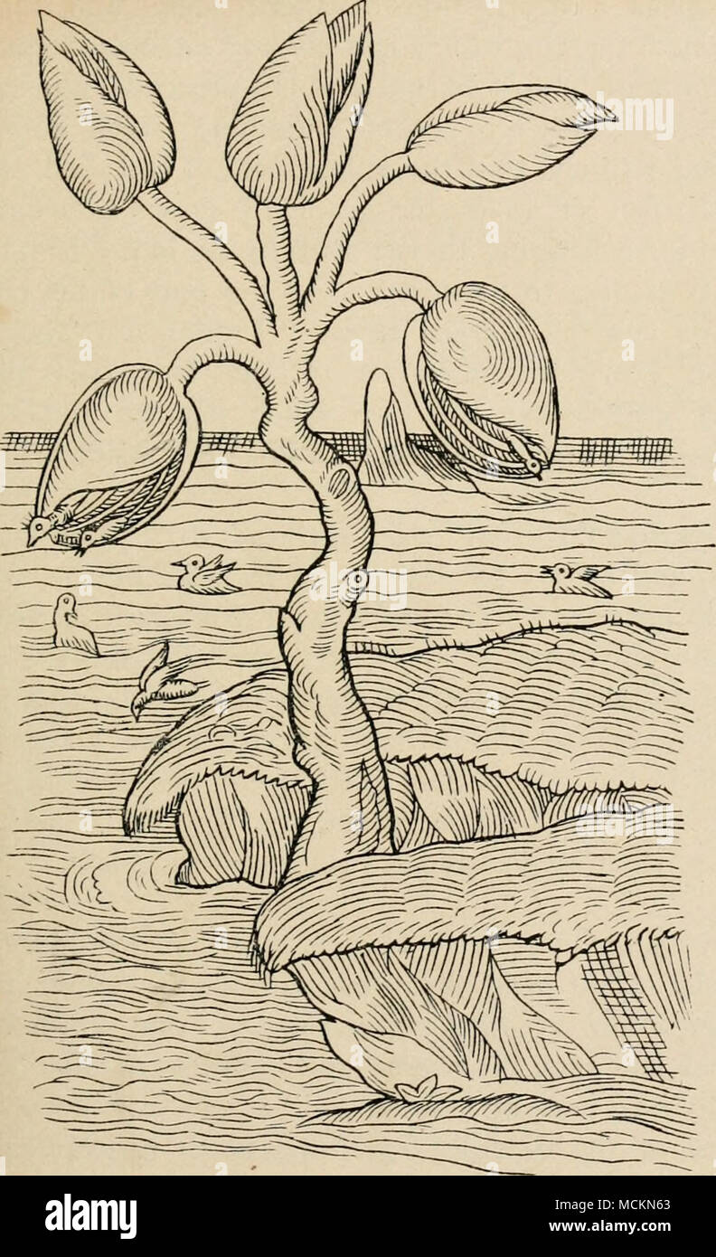 ". Fig. 13.—The picture of the ""Goose Tree,"" copied from the first edition of Gerard's "" Herbal."" The fruit-like oval bodies are ""barnacles"" (Lepas) fancifully represented as growing like buds or fruit on a little tree. Some of the young geese are drawn as in the act of escaping from the barnacle-shells, and others are represented swimming in the water. - Stock Image"