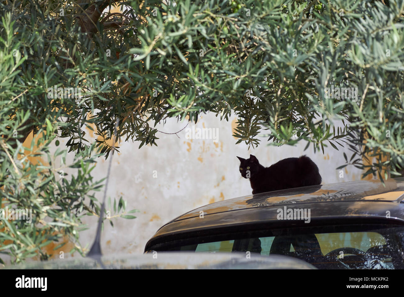 Black cat sitting on a car roof under olive trees in Italy - Stock Image