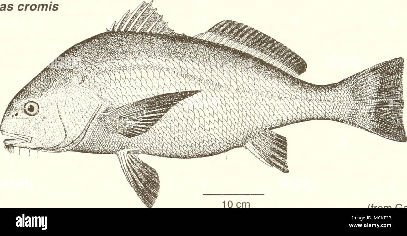 . 10 cm (from Goode 1884) Common Name: black drum Scientific Name: Pogonias cromis Other Common Names: sea drum, gray drum, oyster cracker, drum fish, striped drum, puppy drum, butterfly drum (Sutter et al. 1986); grand tambour (French), tambor,corvinon negro (Spanish) (Fischer 1978, NOAA 1985). Classification (Robins et al. 1991) Phylum: Chordata Class: Osteichthyes Order: Perciformes Family: Sciaenidae Value Commercial: Black drum are commercially harvested primarily in inshore state territorial waters, using a wide variety of gear and vessels between states and regions (NOAA 1985, Sutter et - Stock Image