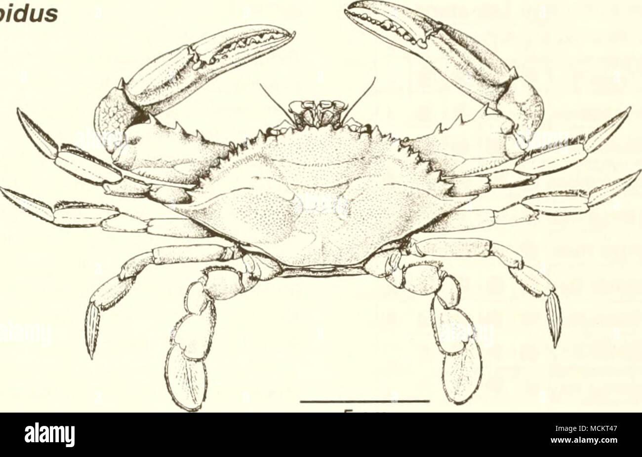 Common Edible Crab Stock Photos & Common Edible Crab Stock Images ...