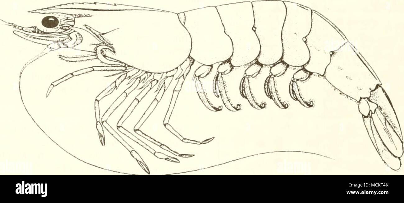 3 cm (from Perez-Farfante 1969) Common Name: brown shrimp