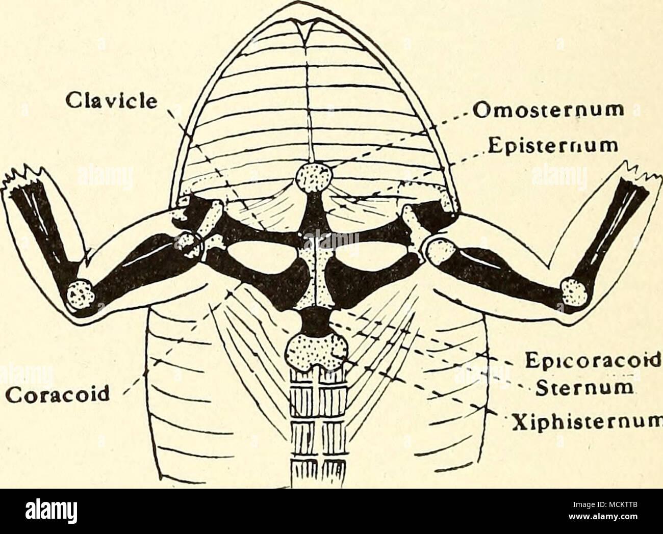 Coracoid Epicoracoid Sternum Xiphisternum Fig 4pectoral Girdle Of