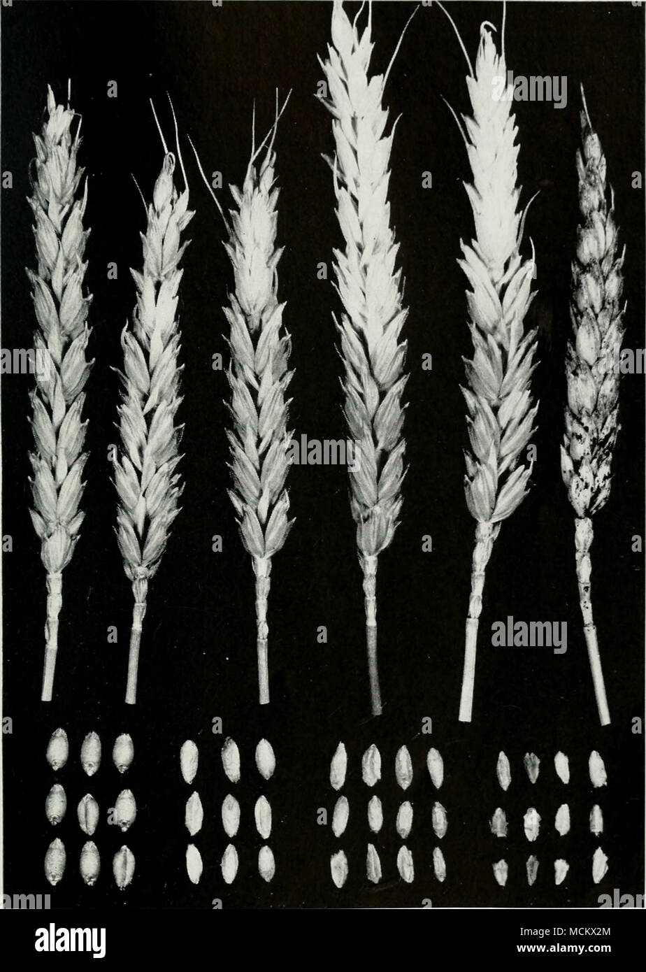 Fig  9 —Scab on wheat  The four heads in the middle show various