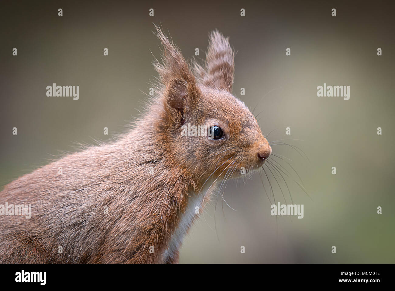 A close up head portrait of a very alert red squirrel keeping its eye open for predators - Stock Image
