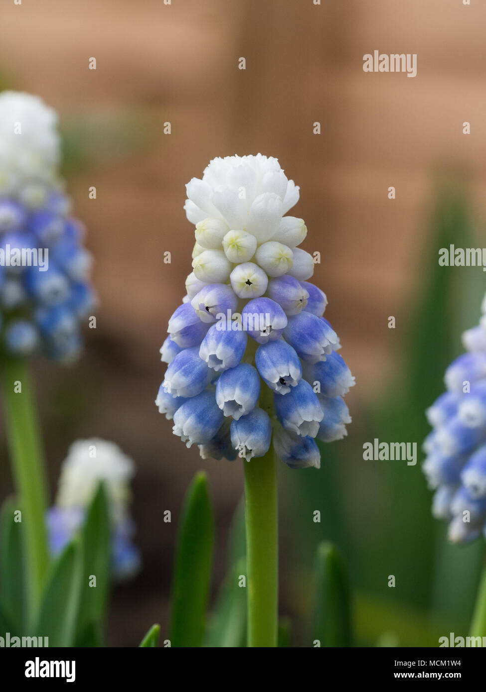 Close up of a single flower spike of the bicoloured Muscari Mountain Stock Photo