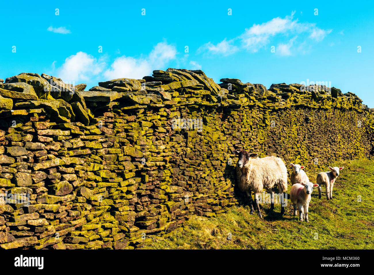 Sheep and lambs below dry-stone wall on Wiswell Moor, an outlier of Pendle Hill, Lancashire, England - Stock Image