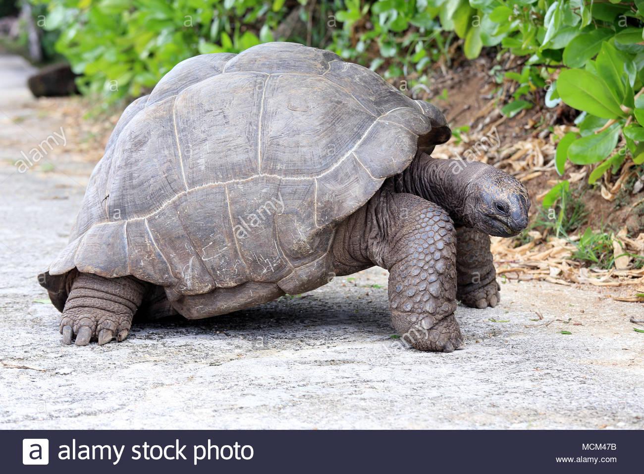 Seychelles Giant Tortoise - Stock Image