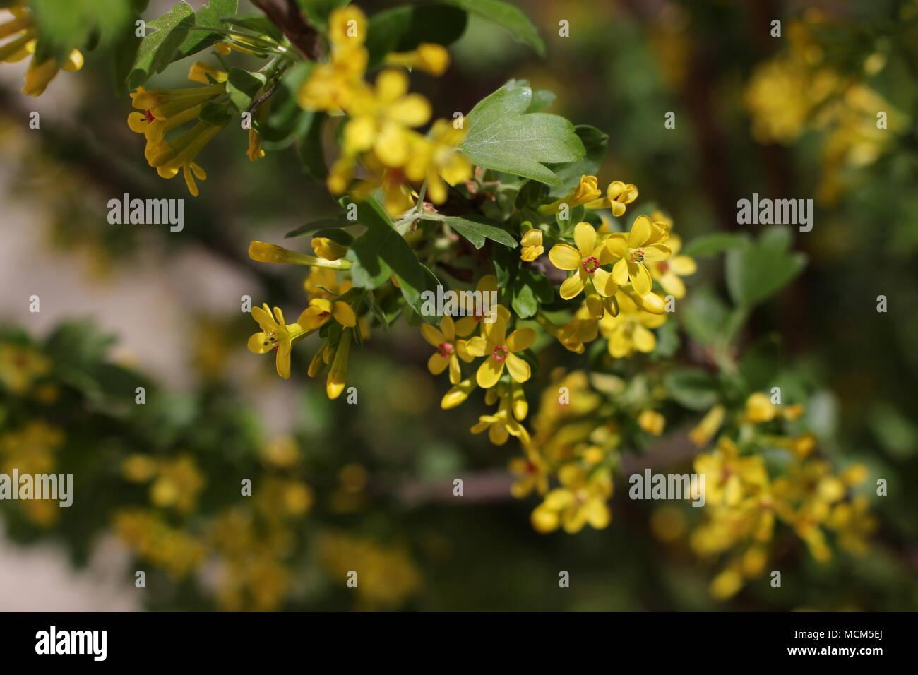 Golden Currant Ribes Aureum Stock Photos Golden Currant Ribes