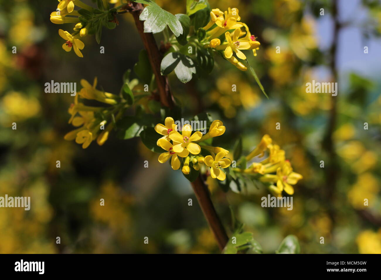 Yellow Flowers Of Golden Currant Ribes Aureum Stock Photo
