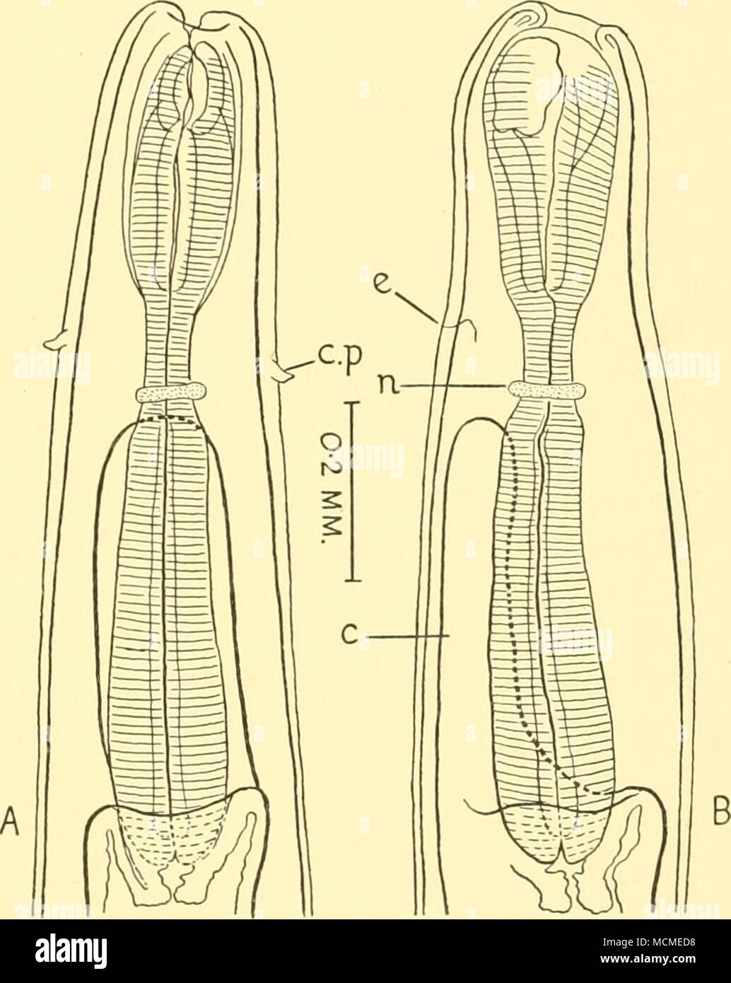 Fig. 10. Cucullanus fraseri. Anterior end of female: A, dorsal view ...