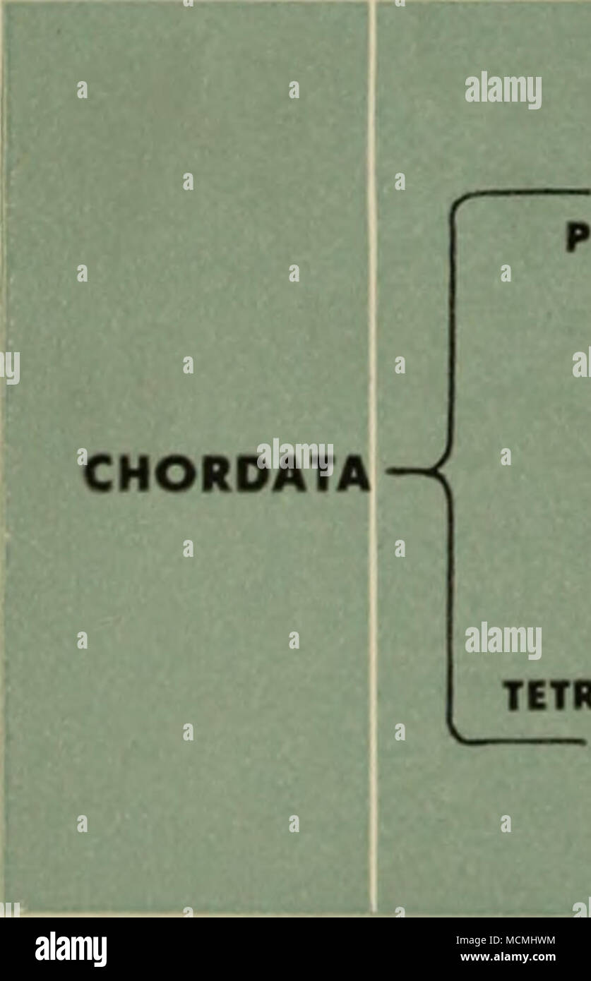 """. SUPERCLASS PISCES TETRAPODA-< CLAS! AGNATHA (Jowliii vartabratat) PLACODERMI (Cartaln prlmltlva """"flthat"""") CHONDRICHTHYES (the shark*) OSTIICHTHYIS _ (Tha bony flthai) AM»HlalA (Tha amphibians) RIPTIIIA (Tha raptllat) AVIS (Tha blrdt) MAMMALIA (Tha mammalt) The classification of animals and plants, taken as a whole, involves more than just the binomial designations of genera and species. It is extended to include increasing- ly comprehensive categories; thus genera are combined into families, families are grouped into orders, orders are combined into the higher category of class - Stock Image"""