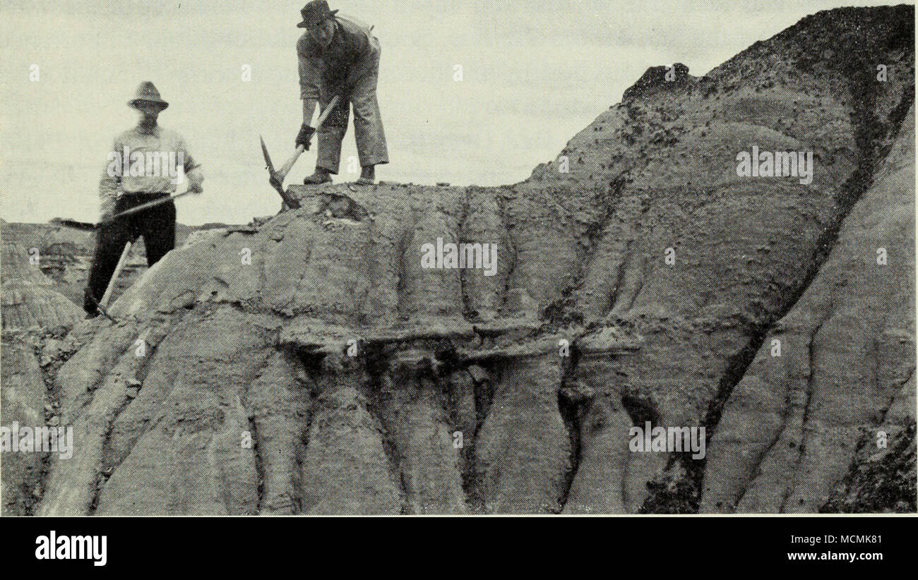 . C M. Sternberg and L. Sternberg starting to uncover the skeleton of a horned dinosaur (Chasmosaurus belli), Oldman formation. Red Deer River, 1914. N.M.C., No. 29055. Lindblad, of whom more later. The first World War was on, and C. M. Sternberg had the amusing experience of being mistaken for a law oflicer searching for deserters along the International Boundary. The first dis- appointment of the trip was the discovery that the richly fossiliferous patch of badlands exposing rocks of the Two Medicine formation was actually on the Montana side of the Boundary. From Coutts the party moved east - Stock Image